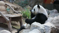Stock Video Footage of Panda eating