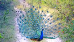 Indian Peacock in breeding condition displays to attract a mate in India. Stock Footage