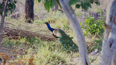 Indian Peacock in breeding condition tries to attract a mate in India. Stock Footage