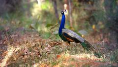 Indian Peacock In Breeding Condition Calls Out To Attract A Mate In India. Stock Footage