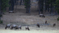 Elk In Yellowstone National Park Stock Footage