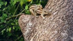 Two squirrels mate on a tree in Ranthambore, India. Stock Footage