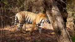 WILD Bengal Tiger (Panthera tigris) walking the forests of Bandhavgarh, India. Stock Footage
