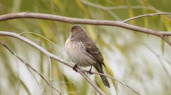 House Finch On Twig Two Shots - stock footage