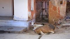 Cows rest in an alley in Tordi Sagar village (Rajasthan, India) Stock Footage