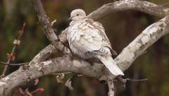 Ring necked dove on tree bark branch - stock footage