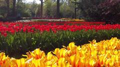 Tulips in the park Keukenhof. Stock Footage