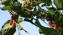 Mulberry tree swaying gently down by force Winds Stock Footage