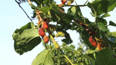 Red mulberry mulberry green Stock Footage