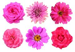 pink flowers, roses, chrysanthemum and zinnia, isolated on white background - stock illustration