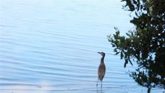 Small Florida water bird walking along the shore Stock Footage