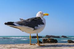 Portrait of an adult  yellow-legged gull in breeding dress, morocco Stock Photos