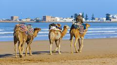 camel caravan walking in the morning in essaouria, morocco - stock photo