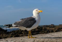 adult  yellow-legged gull in breeding dress, essaouira, morocco - stock photo