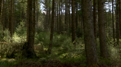 PAN IN THE WOOD, GALLOWAY FOREST PARK, SCOTLAND Stock Footage