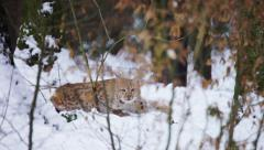 Eurasian Lynx lying and looking into camera Stock Footage