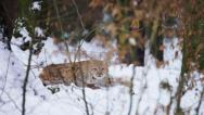 Stock Video Footage of Eurasian Lynx lying and looking into camera