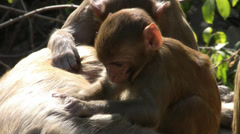 Young monkey is grooming her mother - stock footage