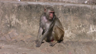 $Rhesus Macaque Monkey Stock Footage