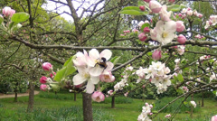 Blossoming apple orchard. Stock Footage