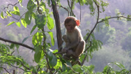 Rhesus Macaque Monkey Stock Footage