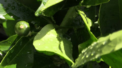 Citrus tree after spring rain Stock Footage