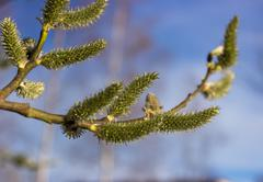 Willow a sprig with green catkins Stock Photos