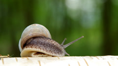 Snail on birch wood Stock Footage