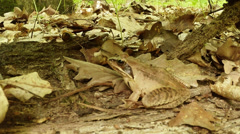 Frog camouflaged among the fallen leaves near the fallen tree and fresh leaves Stock Footage