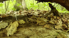 Frog sits among fallen leaves near the fallen tree and fresh leaves Stock Footage