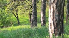 Majestic sequoias Stock Footage