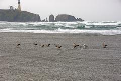 seagulls on beach with yaquina head lighthouse - stock photo
