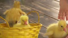 Girl Put and Take Duckling in and from Basket Stock Footage