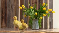 Three little duckling in the room Stock Footage