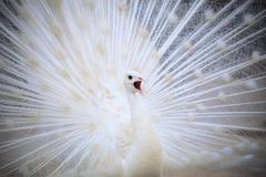 white male indian peacock with beautiful fan tail plumage feather showing for - stock photo