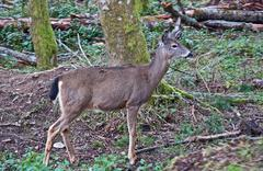 White Tail Deer in Forest Stock Photos