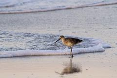 Willet Sunrise Surf - stock photo