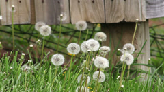 Bunch of dandelions blowing in wind Stock Footage