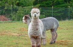 Two Huacaya Alpacas Stock Photos