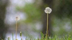 Two dandelion weeds in yard Stock Footage