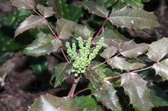 The ovary of the flower of the spring mahonia. Stock Photos