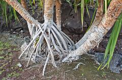 Aerial Roots Havaijin Hala Tree Kuvituskuvat