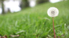 Lone dandelion framed for title on left Stock Footage