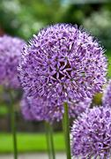 Purple Allium Flowering Plant Stock Photos
