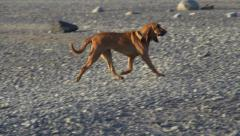 Slow Motion Floppy Dog Running on Rocky Beach in Evening Stock Footage