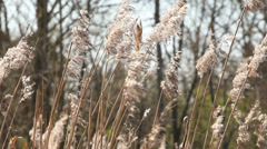 Cane, reed in wind landscape Stock Footage