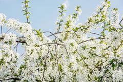 Flowering cherry tree in spring garden Stock Photos