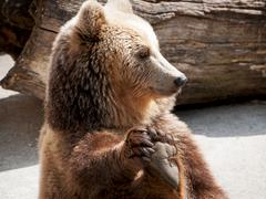 Brown bear (ursus arctos arctos) holds his paw Stock Photos
