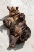 Young brown bear (ursus arctos arctos) lying on the ground Stock Photos