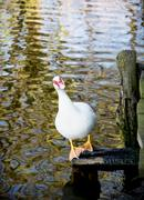 White muscovy duck (cairina moschata) and lake Stock Photos